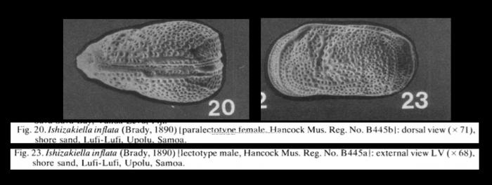 Ishizakiella inflata (Brady, 1890) LECTOTYPE from McKenzie, 1986