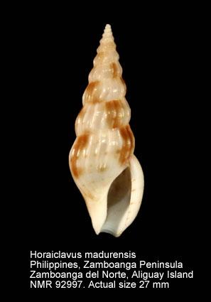 Horaiclavus madurensis
