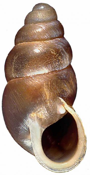 Pupoides calaharicus NMSA 3696