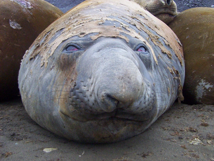Elephant seal