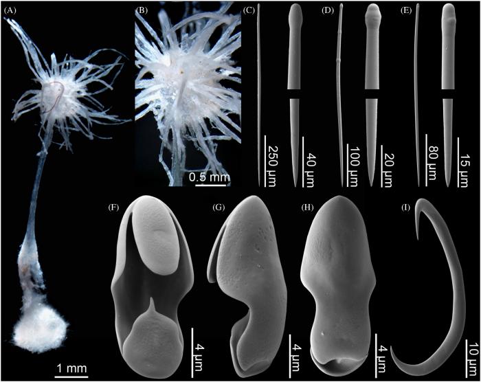 Asbestopluma (A.) laminachela sp. nov.