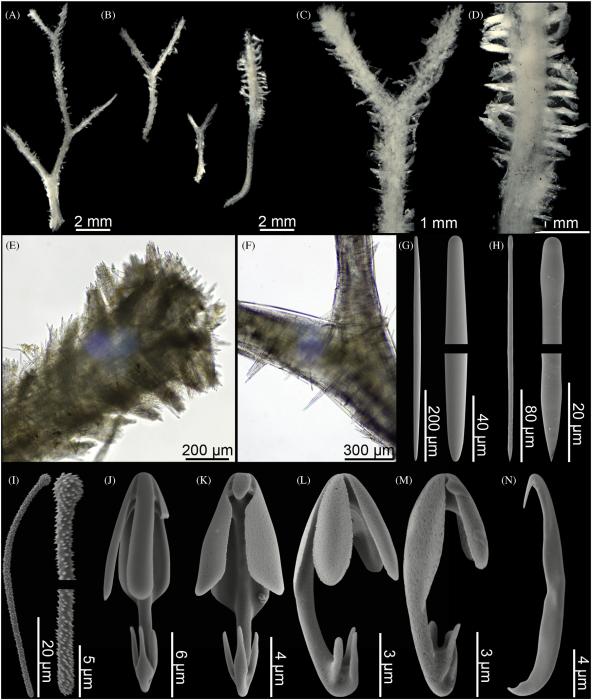 Asbestopluma (A.) unguiferata sp. nov
