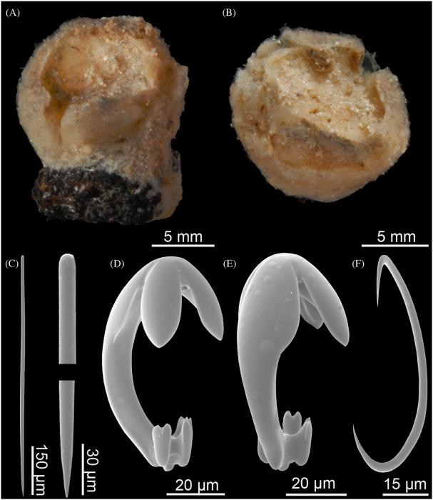 Cladorhiza tridentata holotype BMNH 87.5.2.16.843
