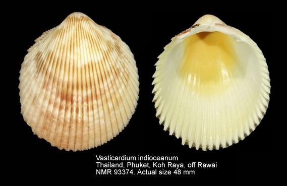 Vasticardium indioceanum