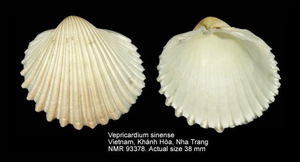 Vepricardium sinense