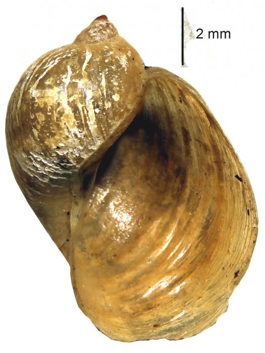 Radix alticola shell