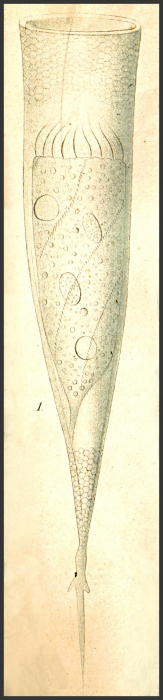 Drawing of Xystonella treforti