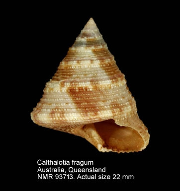 Calliostoma fragum