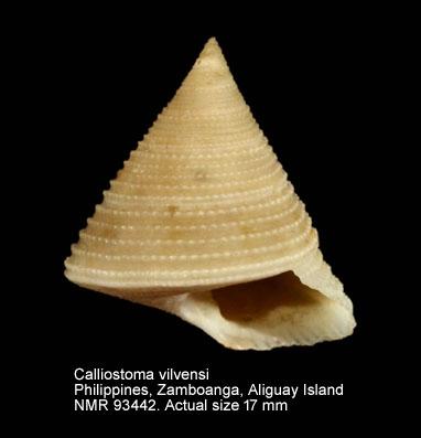 Calliostoma vilvensi