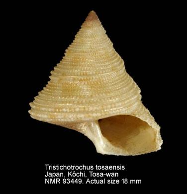 Tristichotrochus tosaensis