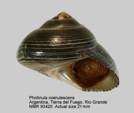 Photinula coerulescens