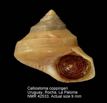 Calliostoma coppingeri