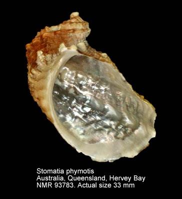 Stomatia phymotis