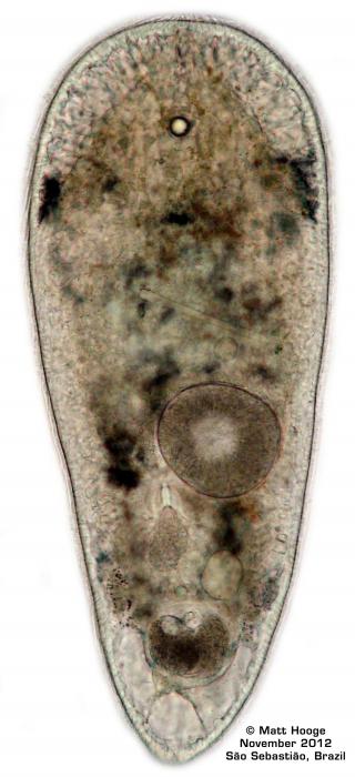 Isodiametra divae