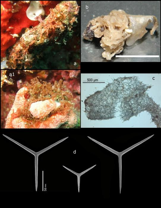 Clathrina repens holotype