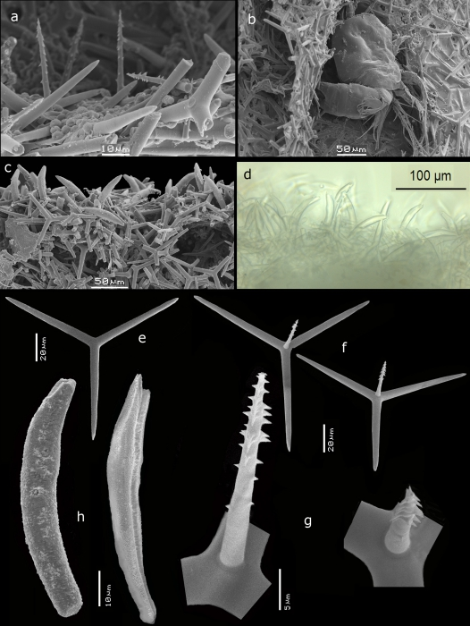 Leucascus schleyeri skeleton and spicules