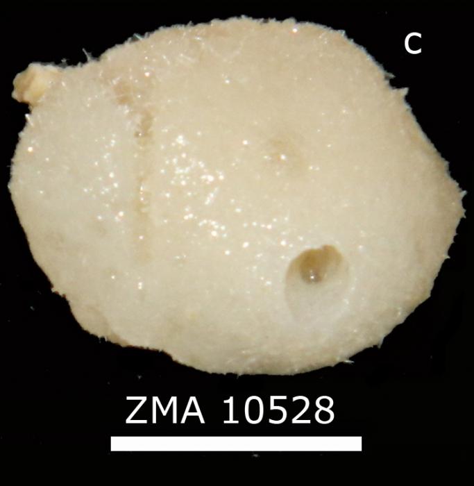 Leucandra pilula habitus