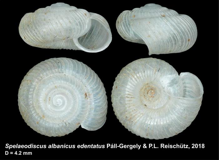 Spelaeodiscus albanicus edentatus Páll-Gergely & P. L. Reischütz, 2018, holotype