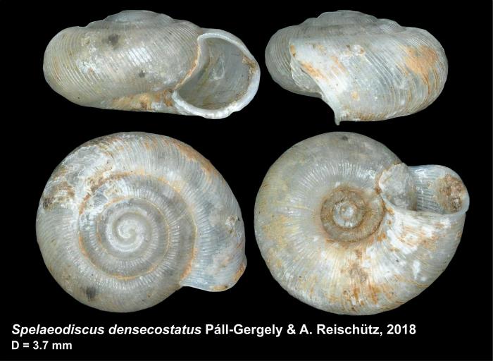 Spelaeodiscus densecostatus Páll-Gergely & A. Reischütz, 2018, holotype