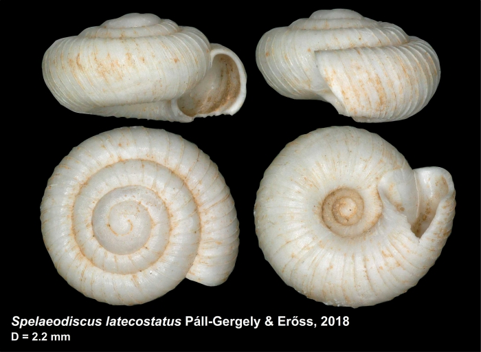 Spelaeodiscus latecostatus Páll-Gergely & Erőss, 2018, holotype