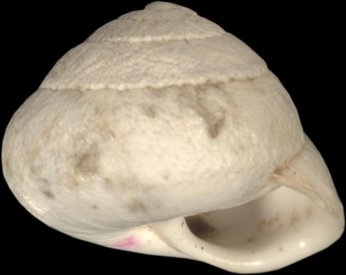 Helix fimbriata Bourguignat, 1852