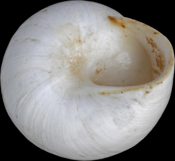 Helix candidissima var. hierochuntina Mousson, 1861