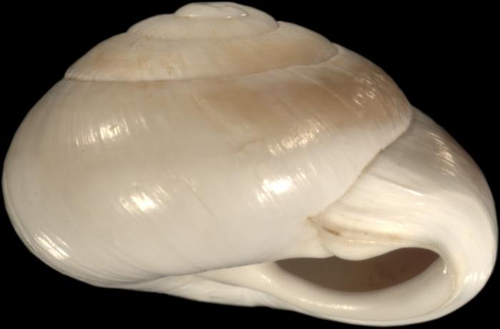 Helix filia Mousson, 1861
