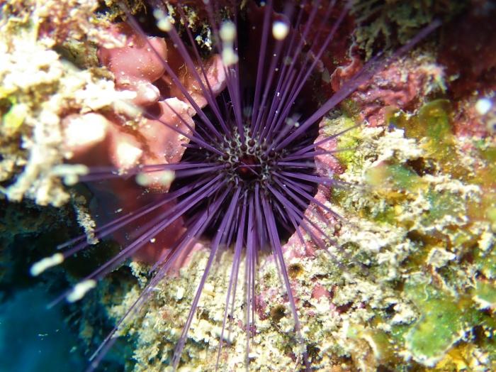 Echinostrephus molaris Mayotte