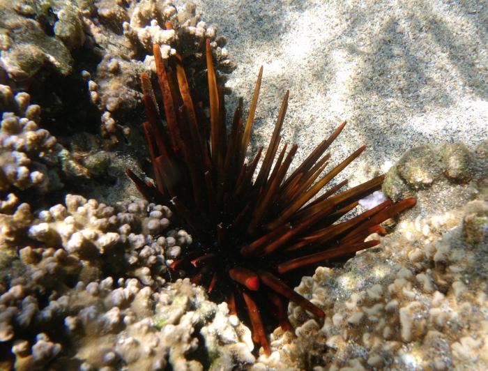 Heterocentrotus trigonarius Réunion