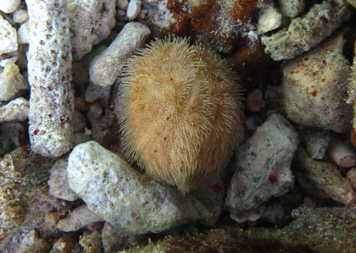 Brissus latecarinatus