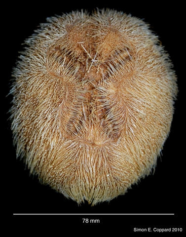 Brissopsis elongata, aboral view