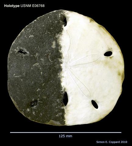 Encope wetmorei, holotype, aboral view