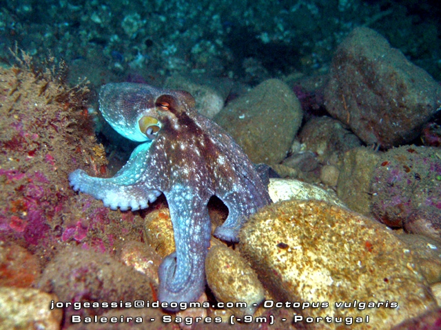 Octopus vulgaris