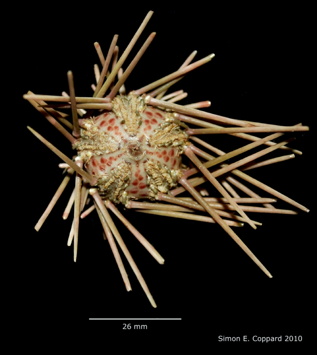 Arbacia stellata, aboral view