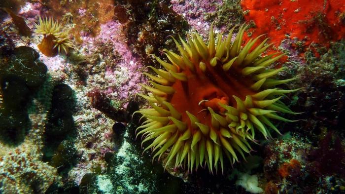 Actinia equina Beadlet anemone DMS