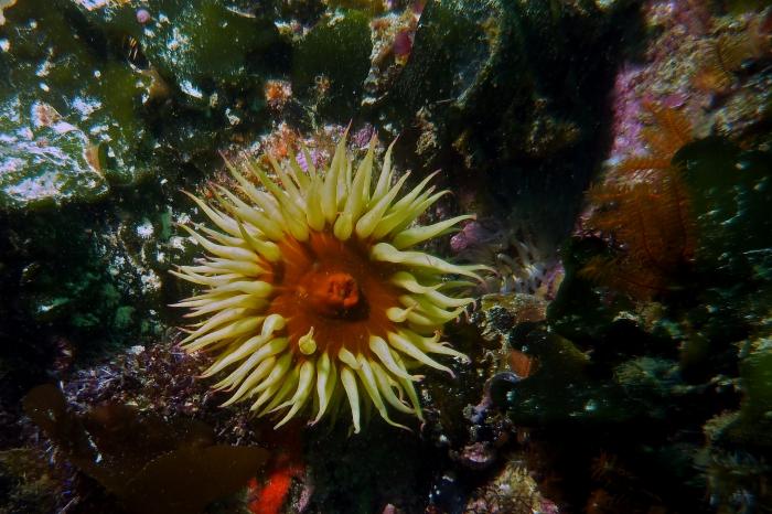 Actinia equina Beadlet anemone1 DMS
