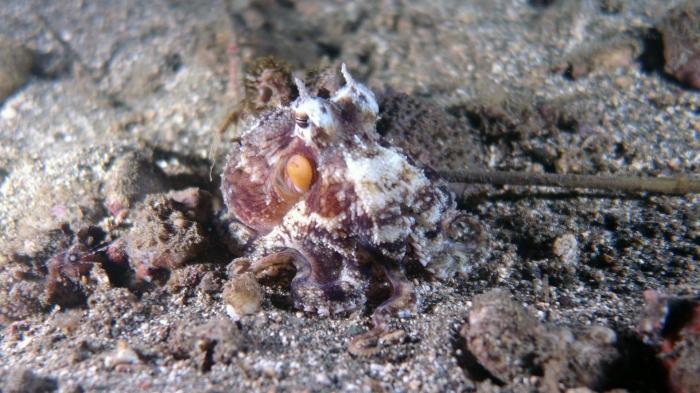 Amphioctopus marginatus CoconutOctopus3 DMS