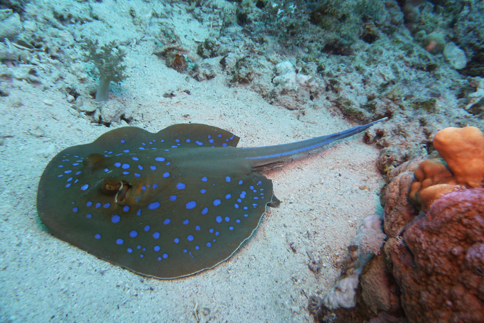 Blue spotted ribbon ray Red sea DMS