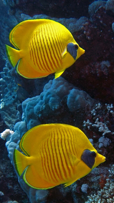Chaetodon Semilarvatus Masked butterflyfish DMS