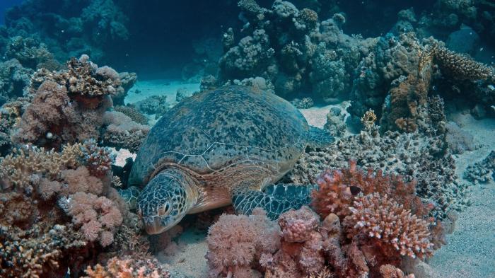 Chelonia mydas Green sea turtle2 DMS