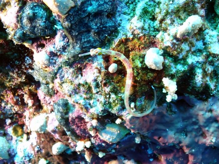 Corythoichthys nigripectus Black breasted pipefish DMS