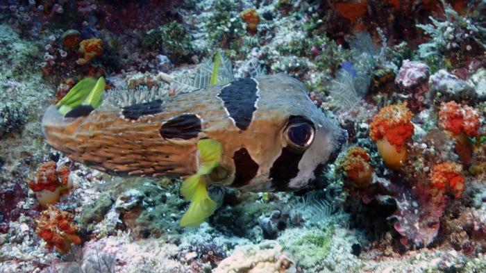 Diodon liturosus BlackBlotchedPorcupinefish DMS