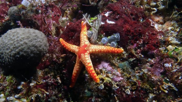 Fromia monilis NecklaceSeaStar DMS