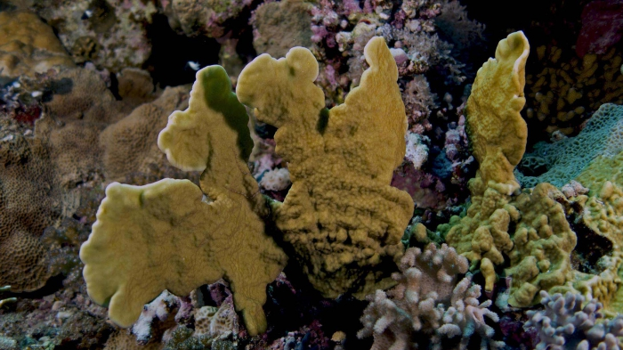 Millepora platyphylla Plate fire coral1 DMS