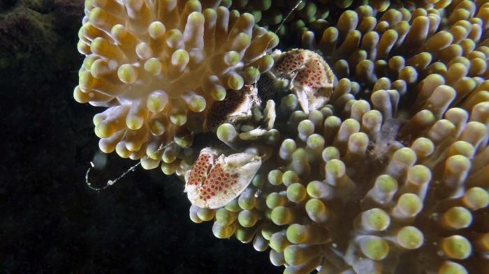Neopetrolisthes maculatus SpottedPorcelainCrab1 DMS
