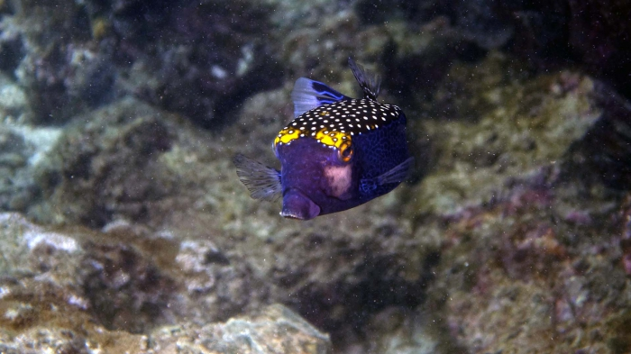Ostracion meleagris SpottedBoxfish Male DMS