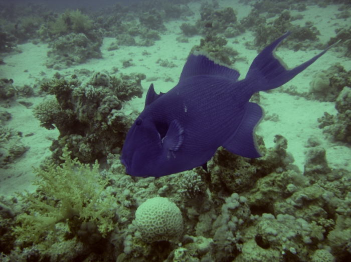 Pseudobalistes fuscus blue triggerfish DMS