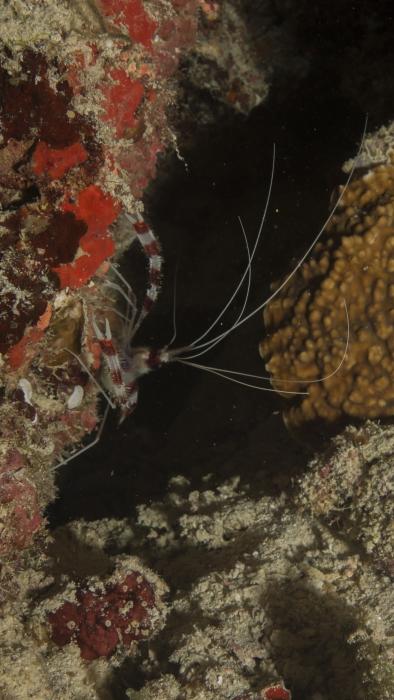 Stenopus hispidus BandedBoxerShrimp1 DMS