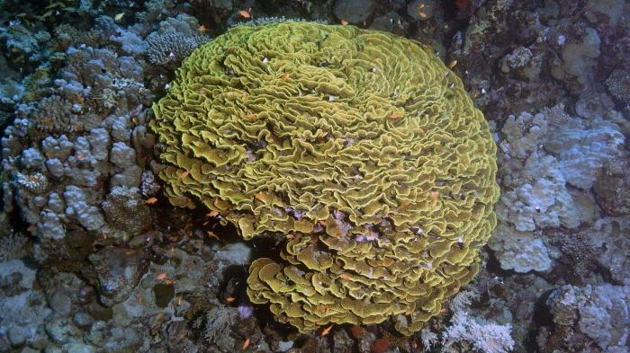 Turbinaria reniformis Yellow scroll coral DMS
