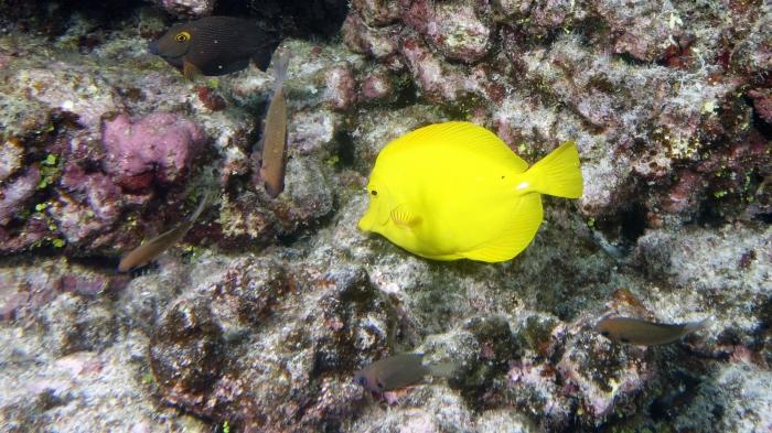 Zebrasoma flavescens YellowTang1 DMS